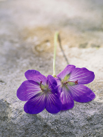 "Geranium ""Johnson's Blue,"" Cut Flowers on Stone Stretched Canvas Print"