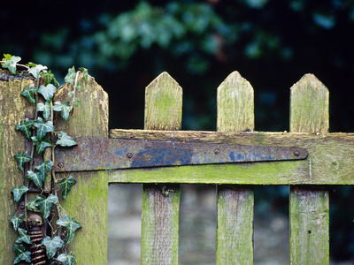 Wooden Gate with Ivy (Hedera) December Stretched Canvas Print