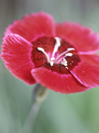 Dianthus Red Dwarf (Pinks) Stretched Canvas Print
