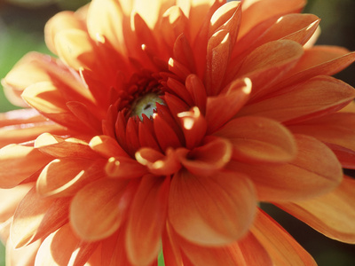 Dahlia Mummies Favourite, Close-up of Orange Flower Stretched Canvas Print