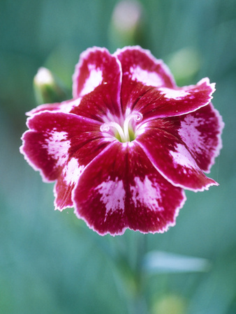 Dianthus Calypso Star Stretched Canvas Print