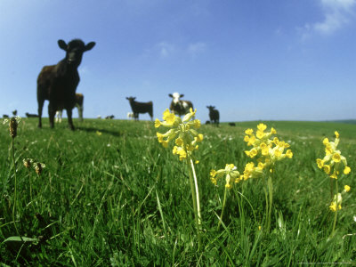 Cowslips, and Cows Pewsey Down Stretched Canvas Print