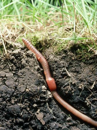 Earth Worm Lumbricus