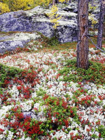 Forest Floor Carpeted with Bilberry and Lichens in Autumn, Norway Stretched Canvas Print