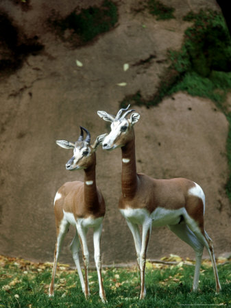 a group of mhorr gazelle deers wikipedia