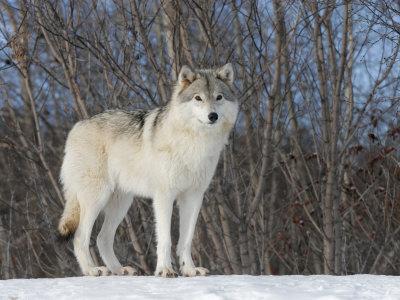 ~*~ Echo ~*~ Gray-wolf-ste-anne-de-bellevue-canada