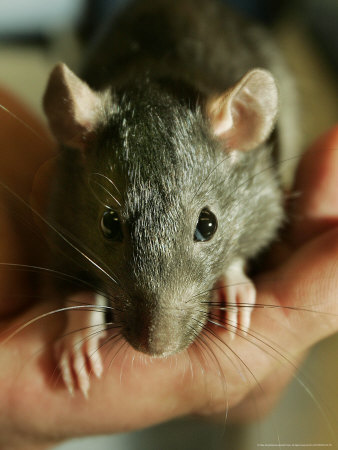 Twinkee, a 14-Week-Old Baby Domestic Rat, is Held at the Mspca in Boston Thursday, May 26, 2005 Stretched Canvas Print