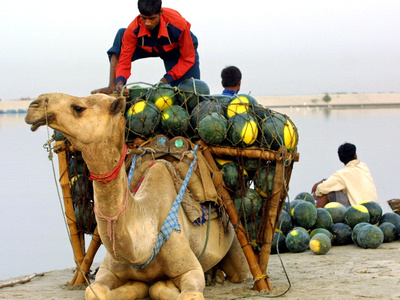 An Indian Farmer Loads His Camel with Watermelons on the Bank of the River Ganges Stretched Canvas Print