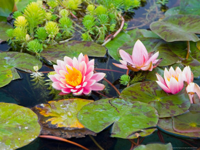 Water Lilies in Pool at Darioush Winery, Napa Valley, California, USA Stretched Canvas Print