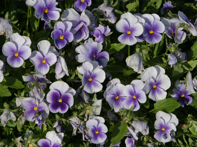Many Colorful Little Violets Blooming Stretched Canvas Print