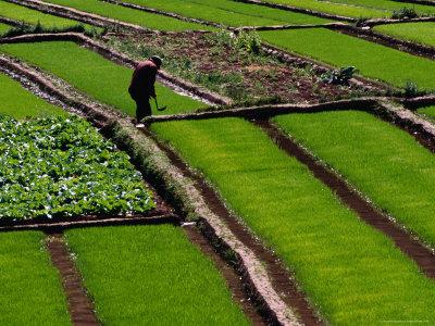 Cabbage Crop and Rice Paddies Near Kunming, Kunming, Yunnan, China Stretched Canvas Print