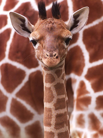 A Three Week Old Baby Giraffe at Whipsnade Wild Animal Park Pictured in Front of Its Mother Stretched Canvas Print