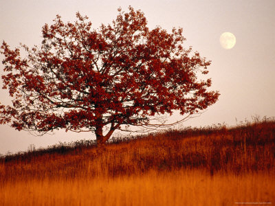 Tree in Autumn Foliage on a Grassy Hillside with Moon Rising Over All Stretched Canvas Print