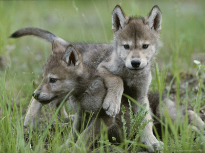 Black And White Wolf Pup. Eight-Week-Old Gray Wolf Pups,