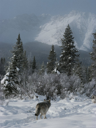 wolf in a winter landscape