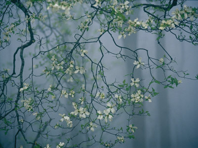 Dogwood Blossoms in a Foggy Forest Stretched Canvas Print
