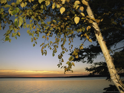 Birch Tree Leaves Highlighted at Sunset on Clear Lake Stretched Canvas Print