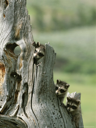 Group of Young Racoons Peer Out From Behind a Tree Stump Stretched Canvas Print