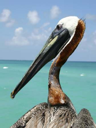 Personable Pelican Portrait Along Florida's Coastline Stretched Canvas Print