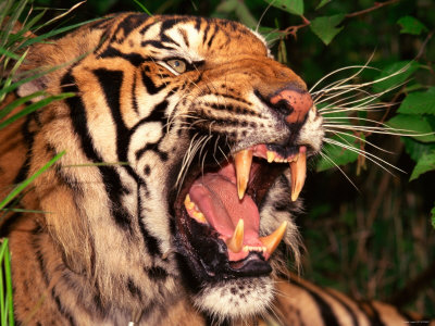 Close Up of Bengal Tiger Showing Teeth Stretched Canvas Print