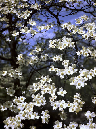 Dogwood Tree Covered in White Flowers in the Ozarks Stretched Canvas Print