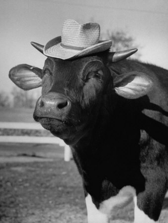 Trained Cow Wearing a Hat Stretched Canvas Print