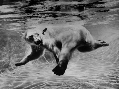 Polar Bear Swimming Underwater at London Zoo Stretched Canvas Print