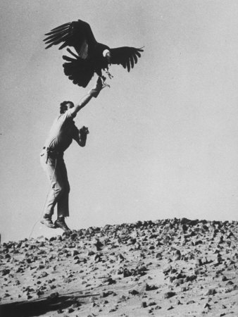Zoologist James Fowler Capturing Vultures, Placing Transistor on its Back to Study Nesting Habits Stretched Canvas Print