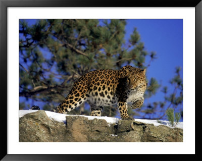 Amur Leopard, Panthera P Orientalis Pre-made Frame by Robert Franz ...