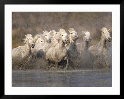 horses running in water. White Camargue Horses Running