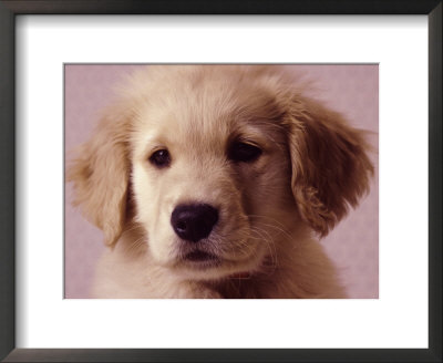 wallpaper golden retriever. Golden Retriever Puppy By