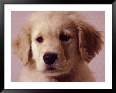 golden retriever puppies mn. hot golden retriever puppy