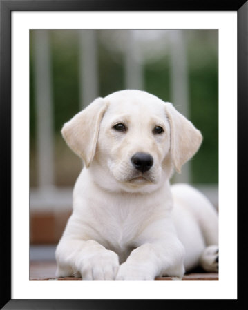 8 week old golden retriever puppy pictures. 8-week-old Yellow Labrador