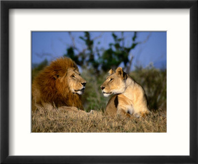 pictures of lions and lionesses. Lion and Lioness Mating Couple