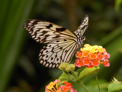 Tree Nymph Butterfly Drinks Nectar from Lantana Flowers, Idea Leuconoe Stretched Canvas Print