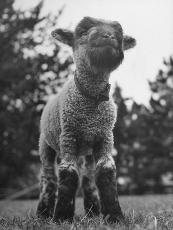 Little Lamb Posing for the Camera Stretched Canvas Print