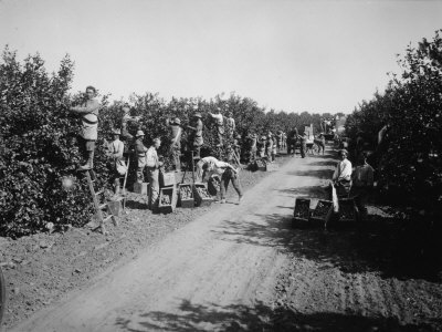 California Citrus Heritage Recording Project, Workers Harvesting Oranges, Riverside County, 1930 Stretched Canvas Print