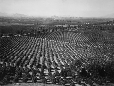 California Citrus Heritage Recording Project, Arlington Heights Citrus Groves, Riverside Co, 1930 Stretched Canvas Print
