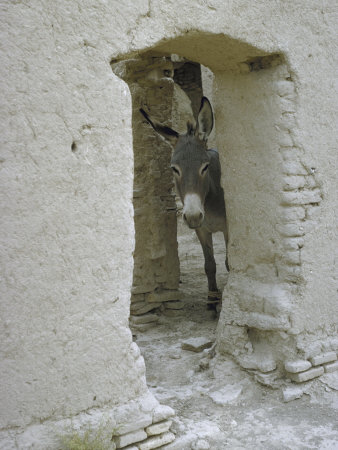 Donkey Peering Through Open Passage Way in White-Washed Wall in Ruined City Stretched Canvas Print