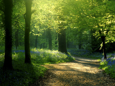 Track Leading Through Lanhydrock Beech Woodland with Bluebells in Spring, Cornwall, UK Stretched Canvas Print