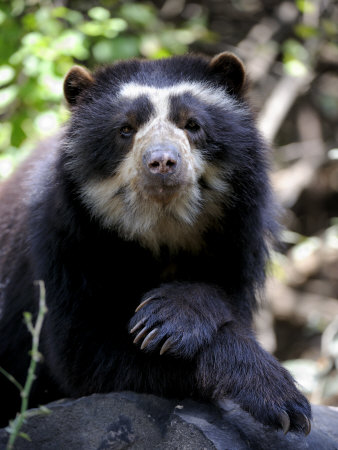 Portrait of Male Spectacled Bear Chaparri Ecological Reserve, Peru, South America Premium Poster