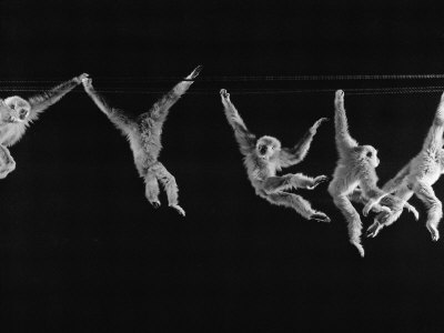 Multiple Exposures of Monkey Swinging Stretched Canvas Print