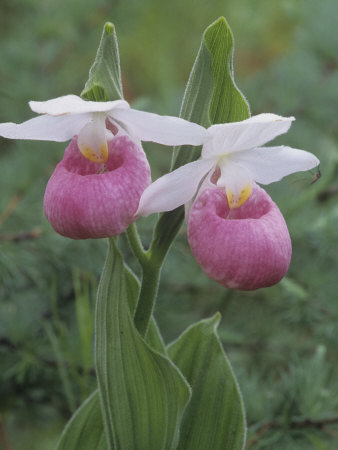 Showy Lady Slipper, Cypripedium Reginae, Orchidaceae, North America Stretched Canvas Print
