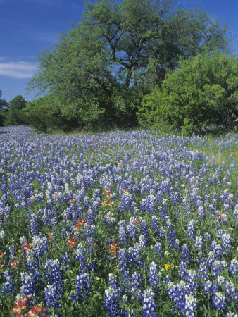 Meadow of Paintbrush and Texas Bluebonnet Spring Wildflowers, Hill Country, Texas, USA Stretched Canvas Print