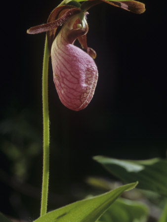 Pink Lady Slipper (Cypripedium Acaule), Orchidaceae, North America Stretched Canvas Print