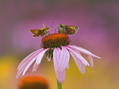 Pair of Skippers on Purple Coneflower, Louisville, Ky, Echinacea Purpurea Stretched Canvas Print