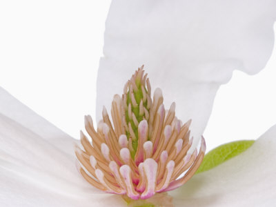 Magnolia Tree Flower Parts Stretched Canvas Print
