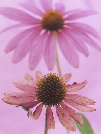 An Aging Purple Coneflower with a Fresh Purple Coneflower in the Background (Echinacea Purpurea) Stretched Canvas Print