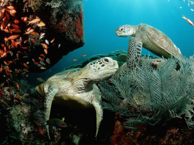 Green Sea Turtles on a Cleaner Station on a Coral Reef (Chelonia Mydas), Pacific Ocean, Borneo Stretched Canvas Print