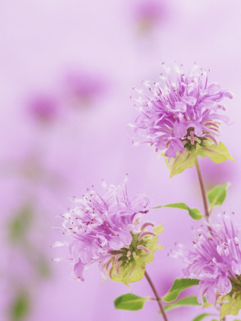 Bee Balm or Bergamot Flowers (Monarda Fistulosa), North America Stretched Canvas Print